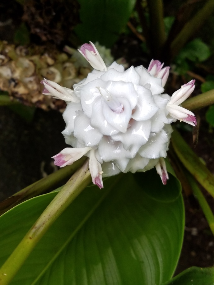Iced ginger in bloom